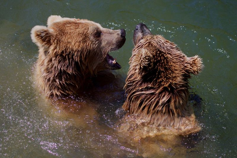 Animal Animal Themes Animal Wildlife Animals In The Wild Bear Mammal Group Of Animals Brown Two Animals Face To Face Mouth Open