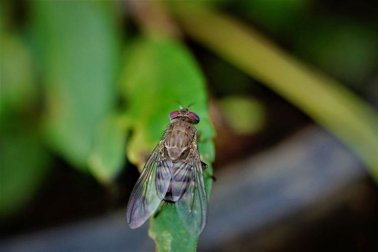 House Fly--It