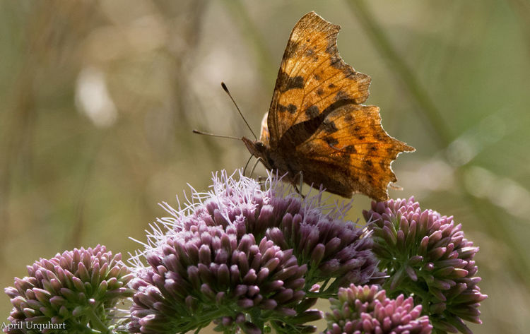 Comma butterfly Animals In The Wild Beauty In Nature Butterflies Butterfly Butterfly - Insect Butterfly Collection Butterfly On Flower Butterfly Underside Butterfly Wings Comma Comma Butterfly Flower Flower Head Fragility Insect Insect Photography Insects  Insects Collection Nature Orange Butterfly