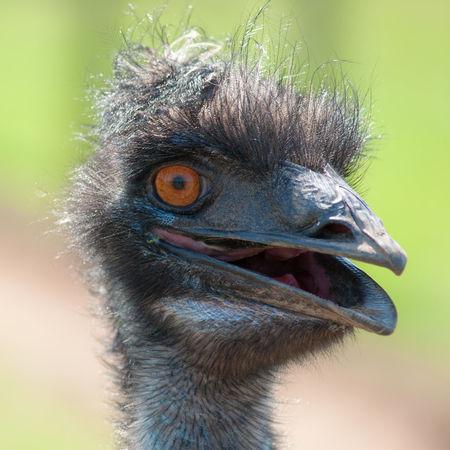 Smiling Emu Amusing Animal Head  Bad Hair Day Bird Close-up Crazy Animals  Cute Animals Emu Flightless Bird FUNNY ANIMALS Nature Portrait Smile Smiley Smiley Face Wildlife