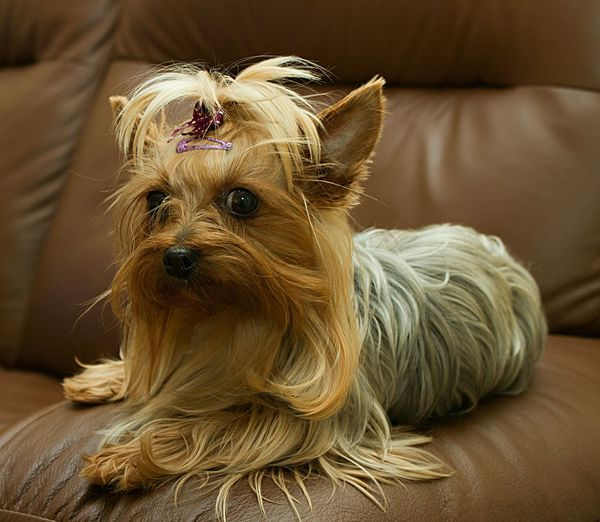Close-Up Of Yorkshire Terrier Sitting On Sofa