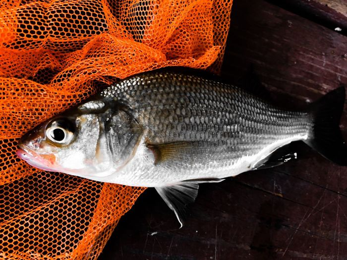 Fish Vertebrate Animal Seafood Food And Drink Freshness No People Animal Themes Close-up High Angle View Fishing Fishing Net Still Life