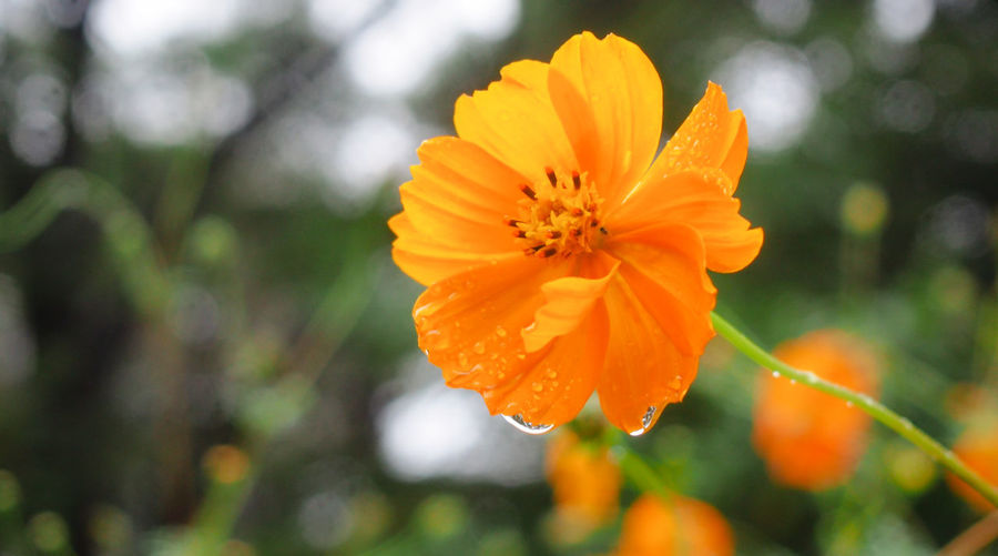 Fresh orange cosmos after rain Bright Cosmos Flower Drops Field Freshness Green Orange Beauty In Nature Blossom Botany Close-up Flora Flower Garden Outdoors Park Petal Season  Springtime Summer Water Wet Yellow