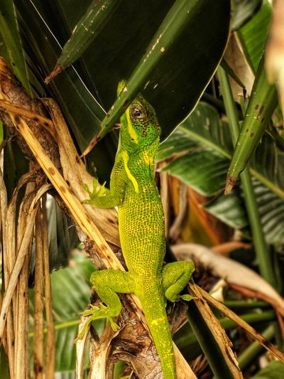 EyeEmNewHere Cuban Anole Not Indigenous Florida Life Florida Nature Tropical Paradise Fauna Beauty In Nature Beauty Of Nature Yellow Reptile Tree Camouflage Leaf Close-up Animal Themes Green Color Animal Eye Lizard Animal Skin Visual Creativity
