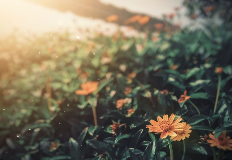 Blurbackground Background Texture Greenery Eyeemgallery Moody Beautiful Naturelovers Nature Orange Flower Flower Head Leaf Autumn Summer Sunset Close-up Plant Day Lily Plant Life Focus In Bloom Flowering Plant Blossom Wildflower