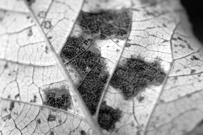Autumn Beauty In Nature Blackandwhite Close-up Death Decay Decomposition EyeEm Best Shots Fall Fall Beauty Fall Leaves Leaf Leave Vine Macro Midrib No People Rotten Sadness Selective Focus Structure And Nature