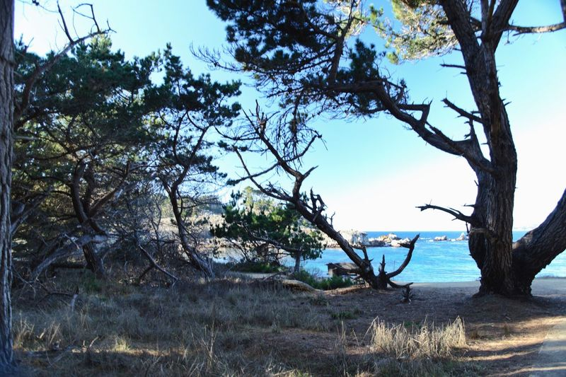 Point Lobos State Park CA Tree Plant Sky Nature Growth Day Beauty In Nature Branch Tree Trunk No People Tranquility Water Tranquil Scene Land Scenics - Nature Outdoors Clear Sky Beach