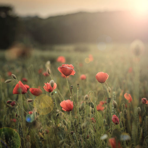 Close-Up Of Poppy Flowers During Sunset