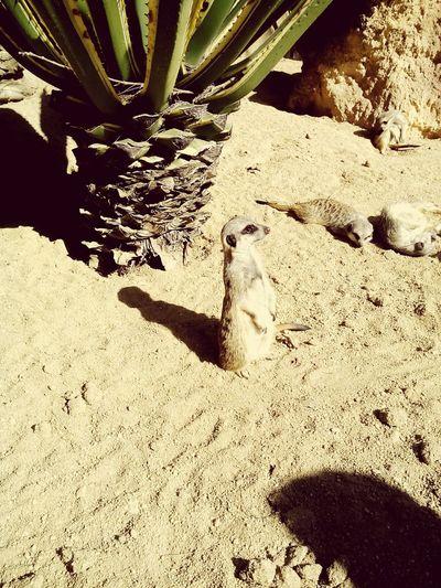 Beautiful Animals  Suricata Relaxing Inthezoo Taking Photos Enjoying Life