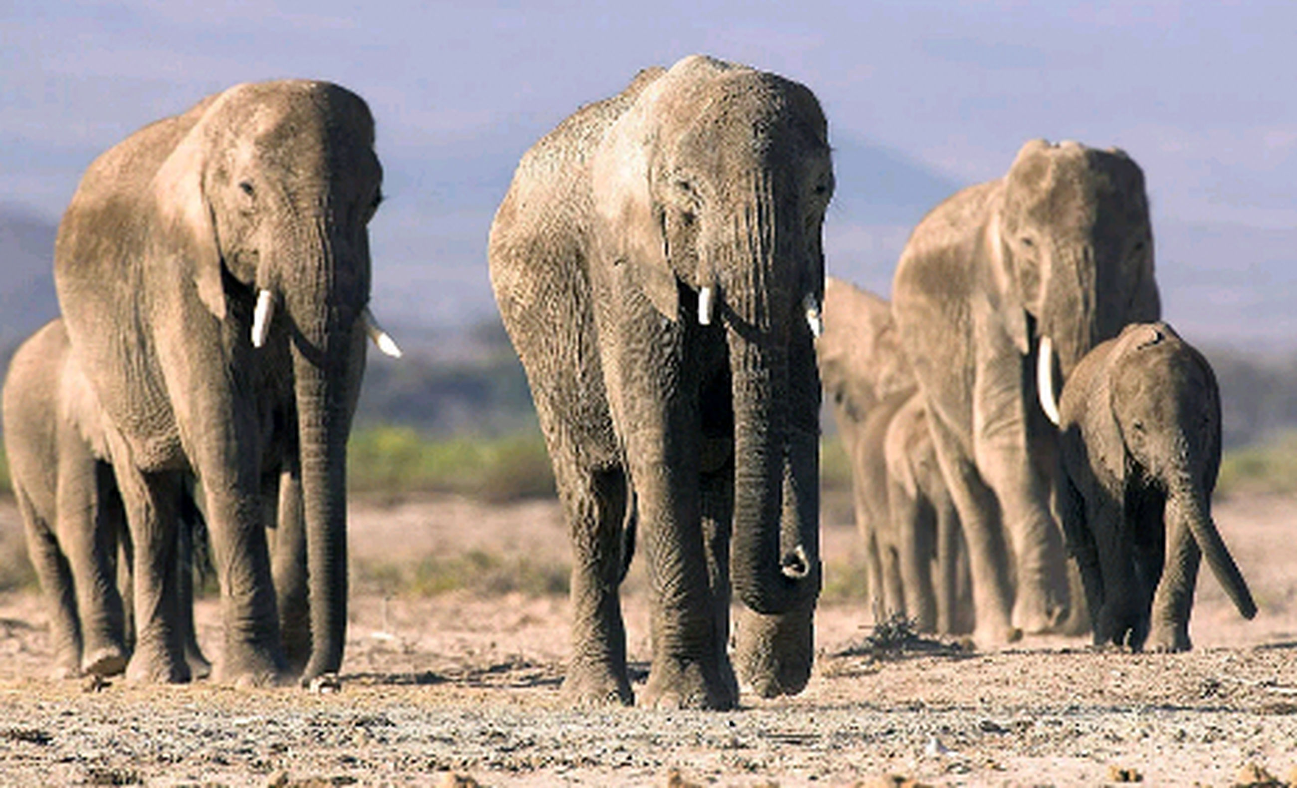 elephant, animal wildlife, mammal, animal, togetherness, animals in the wild, elephant calf, herd, animal themes, group of animals, no people, outdoors, african elephant, day