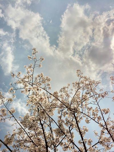 Cherry Blossoms Sky And Clouds Korea