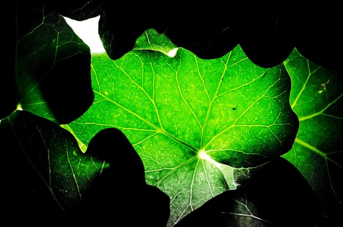 Fragility Green Color Poison Ivy