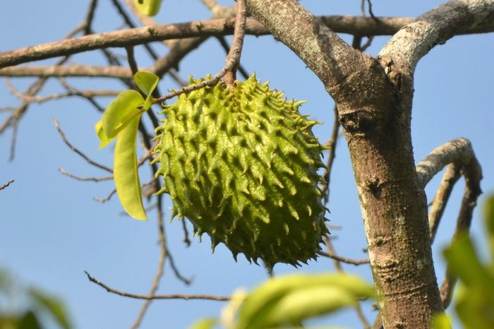 Soursop Fruit Broad Beauty In Nature Branch Clear Sky Close-up Day Focus On Foreground Food Food And Drink Fruit Green Color Growth Guyabano Healthy Eating Low Angle View Nature No People Outdoors Plant Selective Focus Sky Soursop Fruit Tree Tropical Fruit