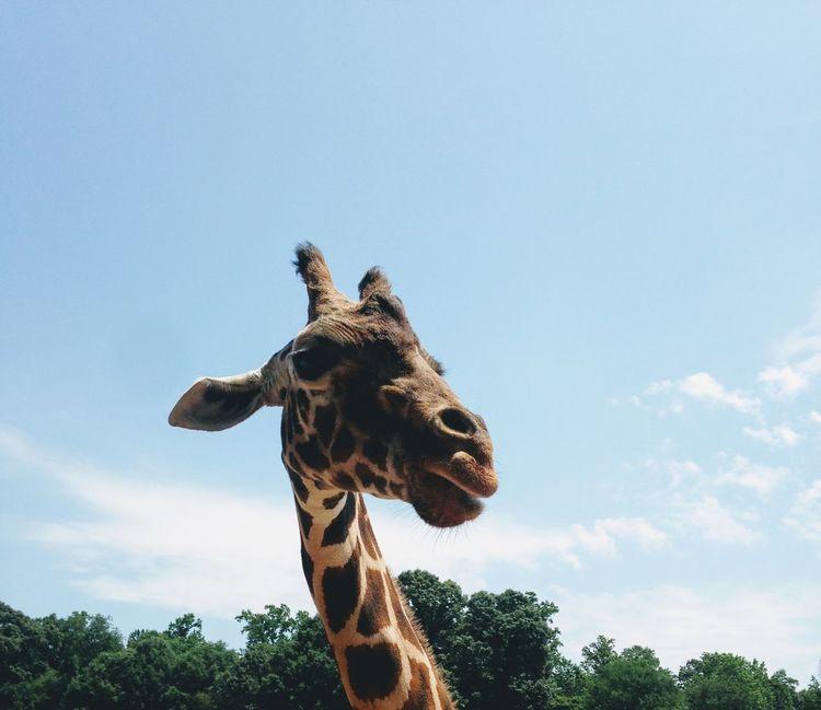 Say Cheese. Animal Wildlife Outdoors Mammal Close-up Giraffe Giraffe Head Giraffe♥ Lazy5Ranch Giraffe Portrait EyeEmNewHere EyeEm Ready