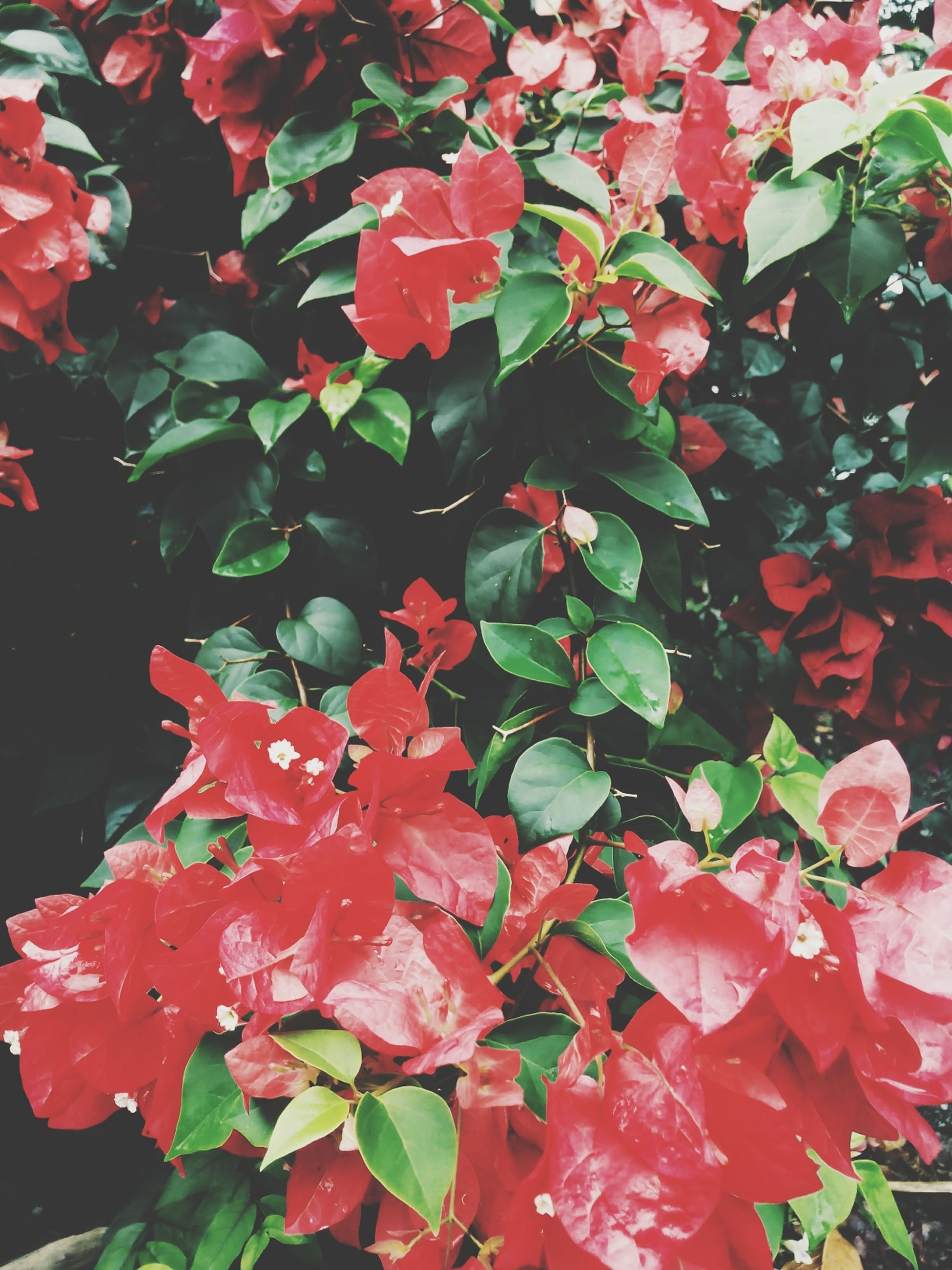 red, growth, leaf, freshness, flower, beauty in nature, nature, fragility, plant, close-up, petal, backgrounds, full frame, season, outdoors, day, blooming, no people, pink color, blossom