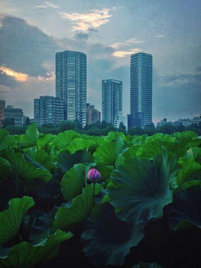Tokyo Lotus 不忍池