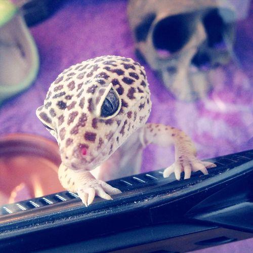 Zeus Gecko Leopardgecko Photography Nonnynoonoo