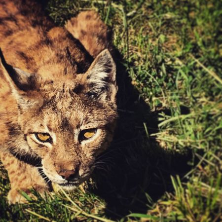 Animal Themes Animals In The Wild Feline Lynx Lynx Lynx Looking At Camera Outdoors Nature One Animal Animals In The Wild Sunlight Forest Felino