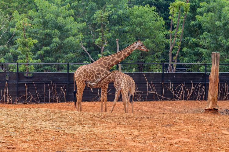 Giraffe Plant