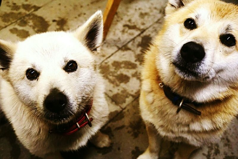 In Japan Dog Dog Days Eyes Nouse LookingCute  My Friend