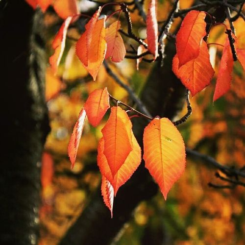 Leaf Focus On Foreground Tree Autumn Close-up Growth Branch Orange Color Beauty In Nature Change Nature Day Tranquility Outdoors Scenics Full Frame No People