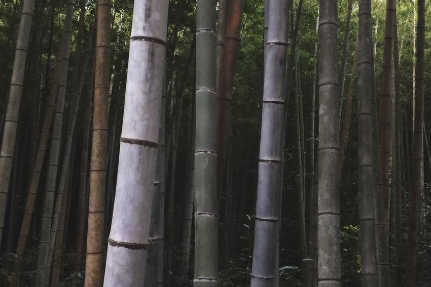 Bamboo Kyoto,japan Bamboo Forest