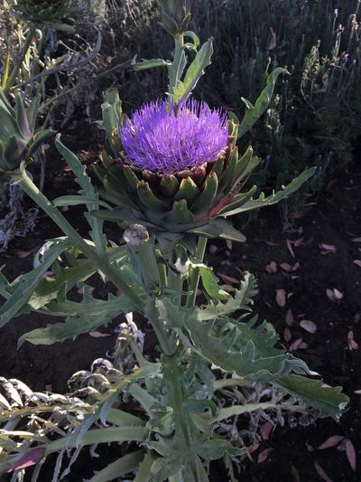 Artichoke In Bloom Garden Photography July 2016 What I Saw On My Walk Today On My Street Purple Flower Purple Flower Front Yard California Grown Colour Of Life
