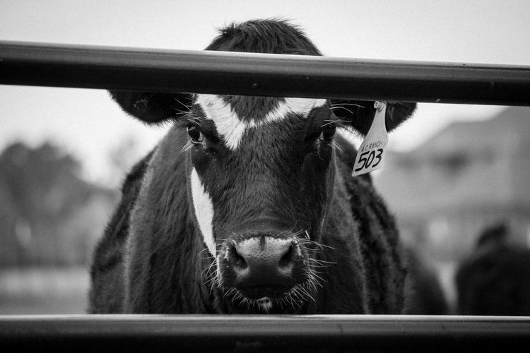 Close-up Cow Day Domestic Animals Livestock Looking At Camera Mammal No People One Animal Outdoors Portrait