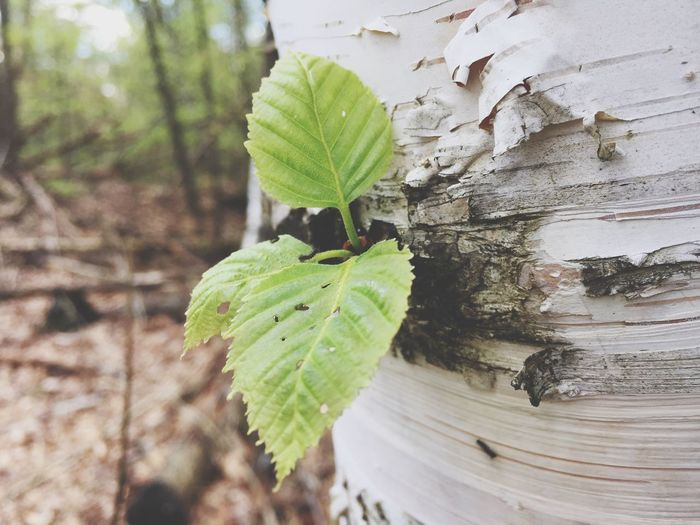 White Birch Leaf Growth Nature Close-up Green Color Tree Trunk No People Day Outdoors Tree Beauty In Nature Fragility Freshness