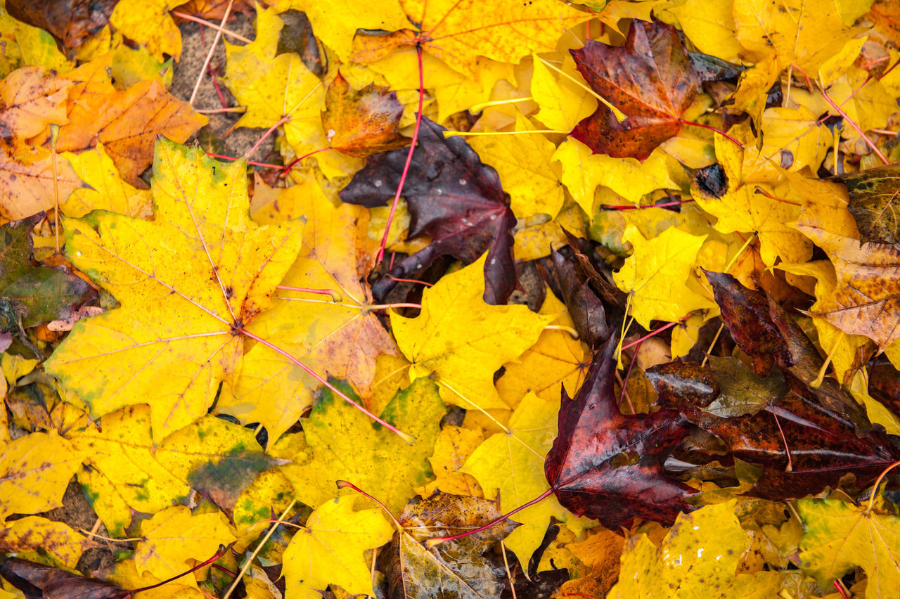 change, autumn, leaf, yellow, dry, leaves, maple leaf, nature, fragility, fallen, maple, outdoors, beauty in nature, abundance, day, no people, close-up, backgrounds
