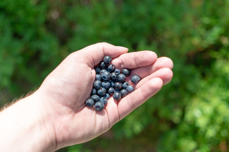 Cropped hand of man holding blueberries at farm