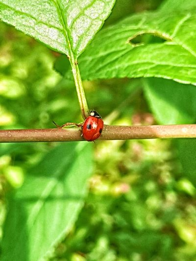 Ladybug Leaf Red Insect Close-up Animal Themes Plant Green Color