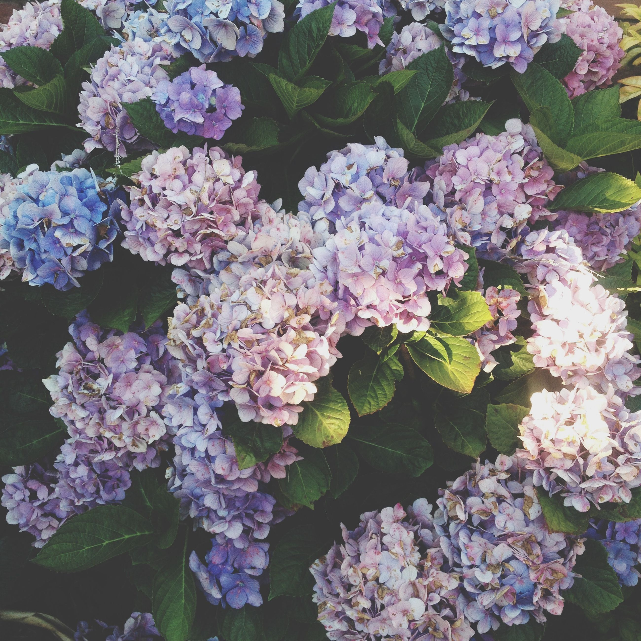 flower, freshness, fragility, petal, growth, beauty in nature, blooming, plant, flower head, nature, leaf, pink color, high angle view, purple, in bloom, park - man made space, hydrangea, outdoors, blossom, springtime