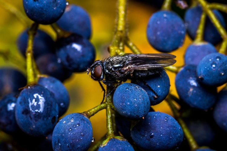 La Mosca tra le Bacche nere di Ligustro. The fly between the Black Ligustrum Berries. Beauty In Nature Blue Nature No People Nature_collection Macro Macro Photography Insect Animal Themes Animals In The Wild Animal Wildlife Day Tranquility Tranquil Scene EyeEm Best Shots EyeEmNewHere EyeEm Nature Lover EyeEm Selects EyeEm Gallery Flower Focus On Foreground Close-up Sky Scenics Eos 600D + Sigma 105 2.8
