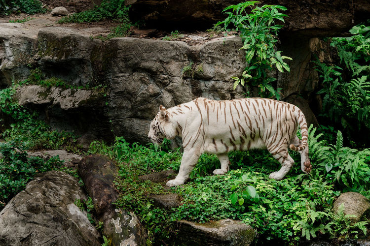 Side view of white tiger walking in forest