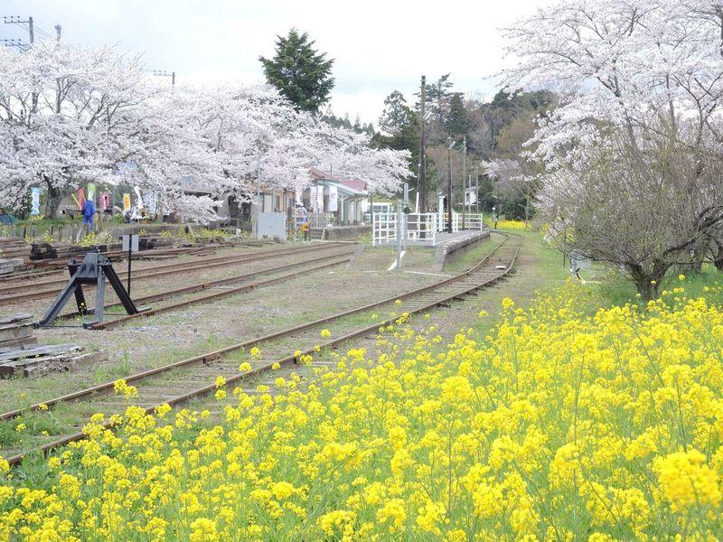 小湊鉄道 里見駅 さくら Nikon P7700