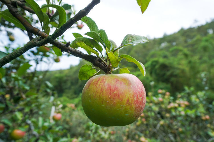 Rome beauty apples Healthy Eating Fruit Food And Drink Food Wellbeing Growth Plant Freshness Apple - Fruit Tree Focus On Foreground Leaf Plant Part Fruit Tree Green Color Nature Apple Tree No People Day Close-up Ripe Outdoors Apple Apple Apple Blossom