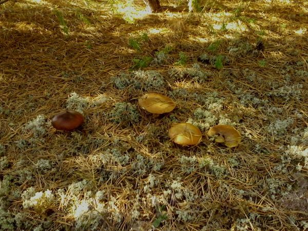 Oily маслята Mushroom Multi Colored Mushrooms Mushrooms 🍄🍄 Music Oily Surface Oily Food Wood - Material Wood Wood_mushrooms Sky Animals Grass Outdoors Day Tree Nature Landscape The Purist (no Edit, No Filter) (null) Travel Destinations No People Animal Themes