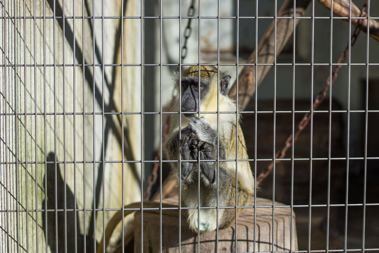 Traping monkey Animal Themes Animals In Captivity Cage Close-up Day Domestic Animals Mammal Metal Nature No People One Animal Outdoors Portrait Trapped