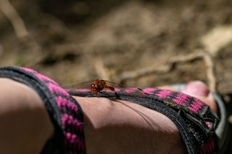 Male red veined darter dragonfly, sympetrum fonscolombii, resting on a summer sandal