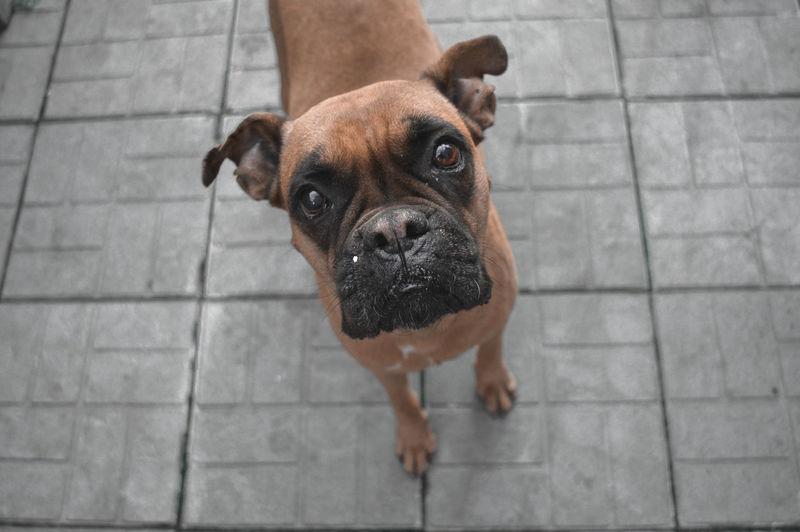 High angle portrait of dog on footpath