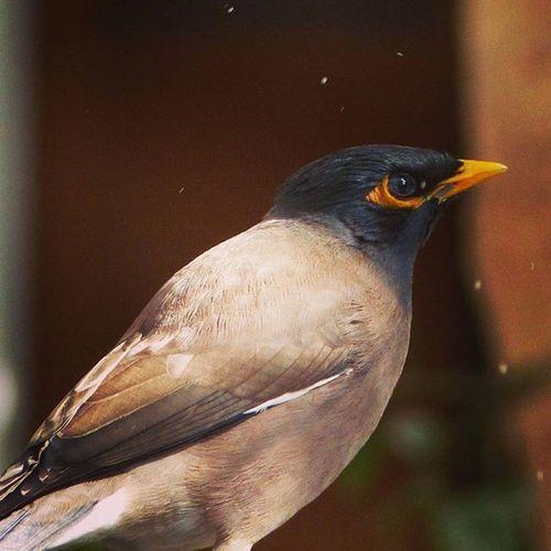 Maina Bird Birdwatchers_daily Beautyfull Jaipurdiaries🎀 Jaipurdiaries 🎀 Jaipurdiaries Panasonic  Fz200 Dausa Nature Ig_naturelovers