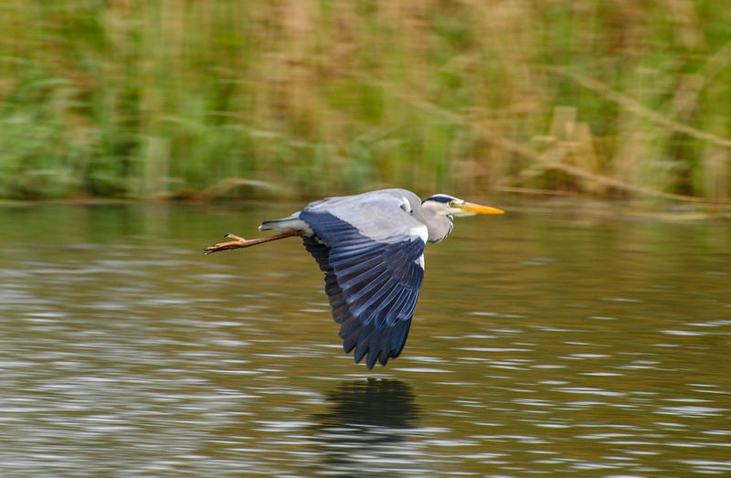 High angle view of gray heron flying over lake