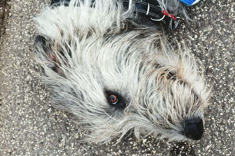 High Angle View One Animal Close-up Domestic Animals Outdoors Bokeh From My Point Of View March 2017 Spring 2017 Dogwalk Dogs Of Spring Dog Of The Day Dogs Of EyeEm Cearnaigh Irish Wolfhound Dogslife Looking At Camera