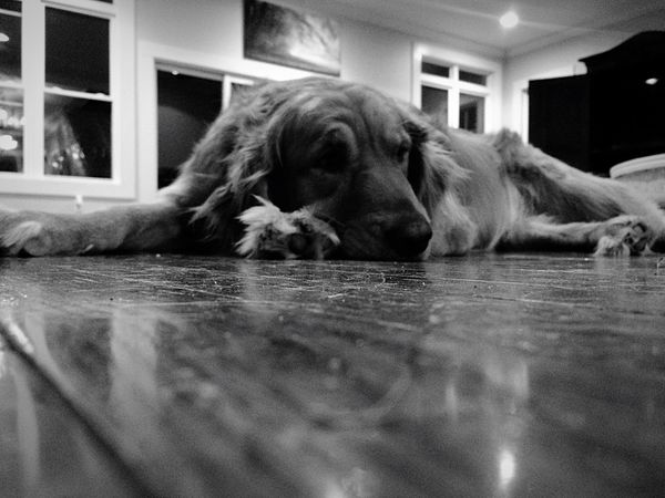 Black And White Goldenretriever Napping On Floor Sleeping
