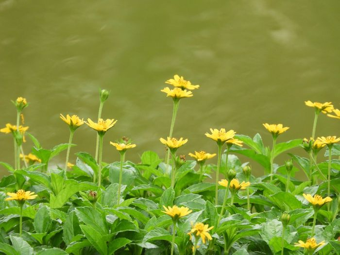Yellow Flowers Grassweed Creeping Daisy Singapore Daisy Nature