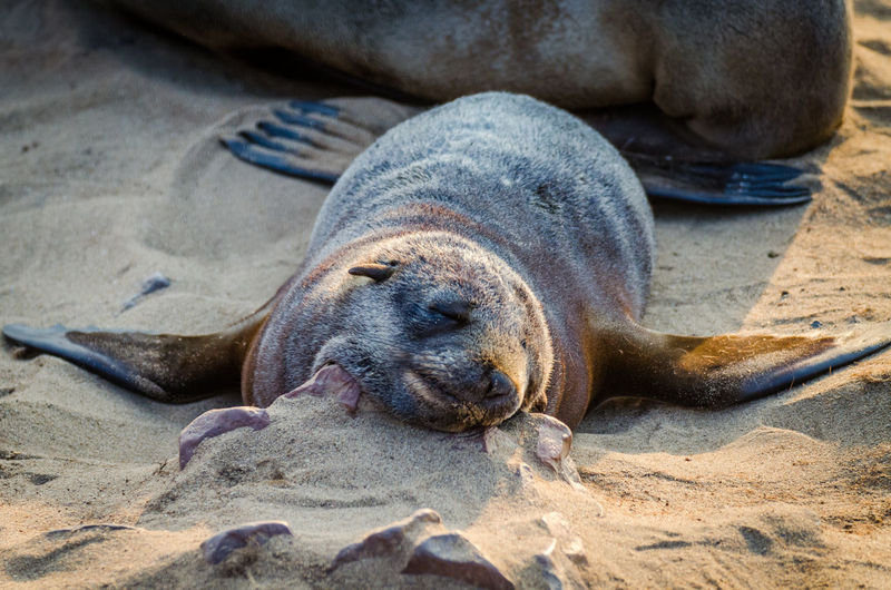Close-up of young seal sleeping on sand at beach, cape cross seal reserve, namibia