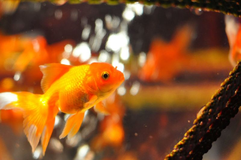 Hello cutie♡ Hello World Quality Time Aquarium Getting Inspired Relaxing Goldfish