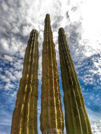 Low Angle View Of Saguaro Cactuses Against Sky