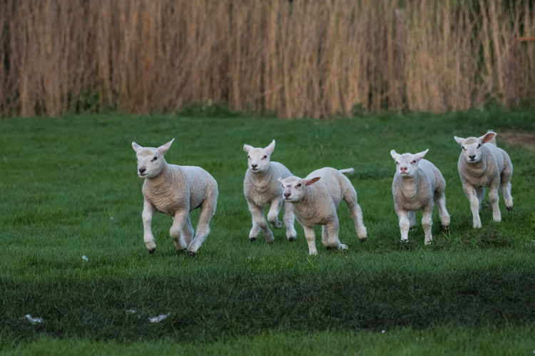 Sheep Village Life Village Green Field Easter Spring Springtime Lamb Sunset Germany Mammal Grass Animal Plant Domestic Animals Animal Themes Domestic Group Of Animals Land Pets Livestock Vertebrate Nature Young Animal Outdoors